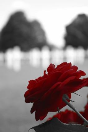 red_rose_190268